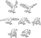 Eagle Flying Drawing Collection Set calvo Immagine Stock Libera da Diritti