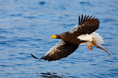 Eagle flying with fish. Beautiful Steller`s sea eagle, Haliaeetus pelagicus, flying bird of prey, with blue sea water, Kamchatka, Stock Photo