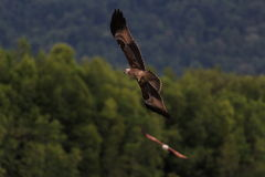 Eagle flying in a flock above water Stock Photos