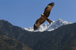 Eagle flying in Himalayas mountains Stock Photo