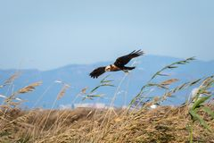 Eagle flying and hunting in the natural park of Albufera, Valencia, Spain. Natural Background stock photo