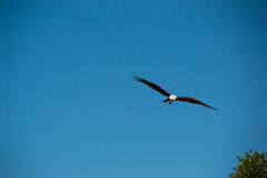Eagle flying and looking out for prey Royalty Free Stock Photography