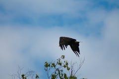 Eagle Flying Over Eagle Harbor Stockbilder
