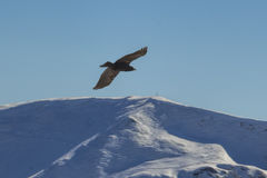 Eagle flying over high mountains Stock Image