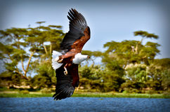 Eagle flying. Over a lake Royalty Free Stock Image
