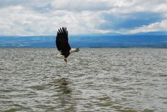 An eagle flying over water royalty free stock photography