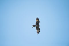 Eagle is flying royalty free stock photo