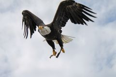 Eagle flying through the sky. royalty free stock photos