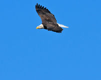 Eagle flying and soaring in blue sky Royalty Free Stock Photography