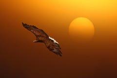 Eagle flying sunrise A Royalty Free Stock Photo