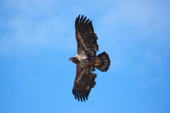 Eagle Flying Wings Spread stock photo