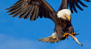 Eagle Flying Wings Spread. A Photo of an American Bald Eagle in Flight with a blue sky background. The eagle is about to catch a fish that has been thrown to it Stock Images