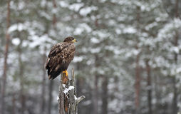 Eagle in a forest landscape in winter. Royalty Free Stock Image