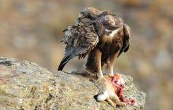 Eagle-Frau isst Aas auf dem Gebiet Stockbilder