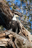 Eagle with fresh catch. This eagle was plucking the feathers off of a freshly caught seagull in a tree along the beach Stock Images