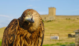 Eagle in front of castle. An eagle with head cocked to side with ancient stone castle in the background Stock Images