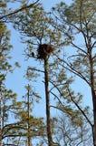Eagle gardant le nid à St Augustine Photos libres de droits