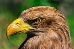Eagle gehen, Nahaufnahme am sonnigen Tag voran Lizenzfreie Stockbilder