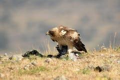 Eagle-Gehweg auf dem Gebiet Lizenzfreie Stockbilder