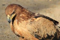 Eagle, gelb-braune - wilder Vogel-Hintergrund von Afrika - Energie und Stolz Stockfotografie