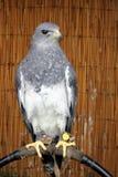 Eagle Geranoaetus Melanoieucus chilien appartenant à un fauconnier, avec les jesses en cuir attachant ses serres à la perche images libres de droits