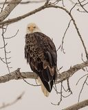 Eagle glaring directly at me. American Bald Eagle sitting in a cottonwood tree along the Mississippi River near Saint Louis Missouri and the Alton Lock and Dam stock photos