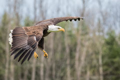 Eagle Gliding calvo Foto de archivo libre de regalías