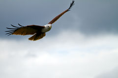 Eagle gliding with copy space on the right. Hovering brahmini kite in a cloudy sky as copy space stock photography