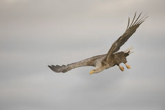 Eagle Gliding and Turning Stock Images