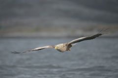 Eagle Gliding Stock Photos