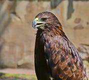 Eagle. Golden Eagle close-up shot Stock Photo