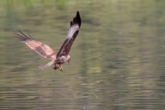 Eagle grabbing food. Eagle lifting off after grabbing food from the lake Stock Photos