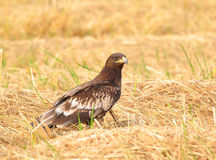 Eagle (Greater Spotted Eagle) Royalty Free Stock Images