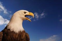 Eagle gritando imagens de stock