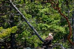 Eagle on Guard Stock Photo