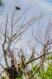 Eagle Guarding His Eaglet calvo americano Foto de archivo