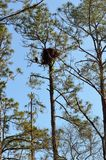 Eagle guarding nest in St Augustine. An eagle guarding its nest at St. Augustine in Florida, USA Royalty Free Stock Photos