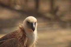 Eagle (Gyps fulvus) Royalty Free Stock Image