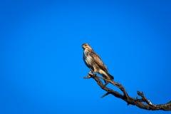 Eagle (halcón) Imagenes de archivo