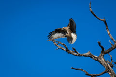 Eagle (halcón) Foto de archivo libre de regalías