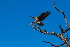 Eagle (halcón) Foto de archivo