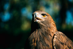 Eagle Haliaeetus albicilla on green grass background Royalty Free Stock Image