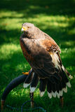 Eagle Haliaeetus albicilla on green grass Royalty Free Stock Image