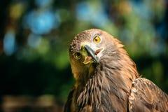 Eagle Haliaeetus albicilla on green grass Royalty Free Stock Photo