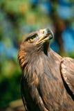 Eagle Haliaeetus albicilla on green grass Stock Photos