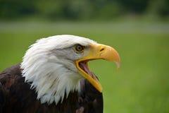 Eagle Haliaeetus leucocephalus Stock Image