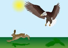 Eagle and the Hare. Hare running away across the field he is a bird of prey Stock Photography