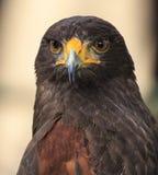 Eagle: Harris Hawk (el unicinctus de Parabuteo) Imagen de archivo libre de regalías