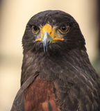 Eagle: Harris Hawk (o unicinctus de Parabuteo) Imagem de Stock Royalty Free