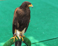 Eagle: Harris Hawk (Parabuteo unicinctus) Stock Images